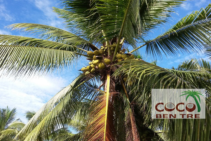 Cây Dừa Sai Trĩu Quả